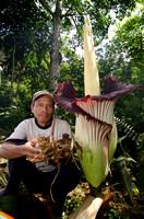 For a better future of the Amorphophallus: Pak Ujang holding a newly grown flower in his sanctuary