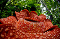 A beautiful Rafflesia arnoldii bloom in the tropical rainforest of Sumatra