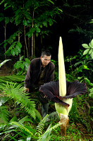 Jumadi look at Amorphophallus titanum