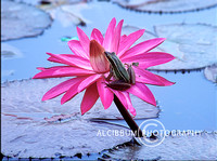 Pink Lotus Flower in Bogor Botanic Garden, West Java, indonesia