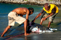 Fisherman catching and cutting the stingrays on the beach, Lamal