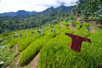Scarecrows in lush paddy field