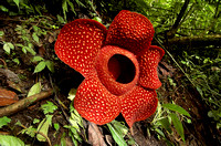 Rafflesia Arnoldii, the largest single flower in terms of weight (can weight up to 10 kg) and may be over 100 cm in diameter.