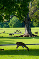 Deer of Bogor Presidential Palace grazing on the vast lawn.