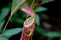 Nepenthes (kantung semar) plant