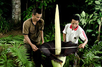 Measuring the largest flower in the world: 78 cm wide, 163 cm in height (Holidin and Jumadi)